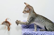 Кишечный  копростаз ( запор) у животных