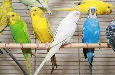 Сальмонеллез птиц