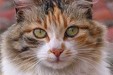 Гипертиреоз кошек