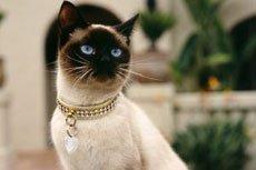 Все сиамские кошки злые