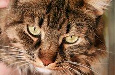 Плюсы и минусы бокового доступа при кастрации кошек