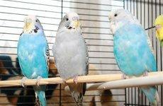Кормление мелких попугаев