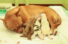 Владельцам собак о беременности и родах