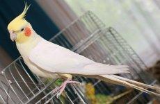 Азы приручения и обучения попугаев полетам вне клетки