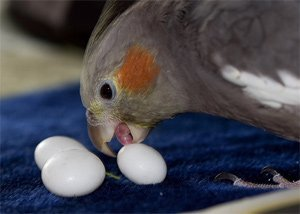 Затрудненная и повышенная яйцекладка у птиц