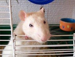 Опухоли у крыс