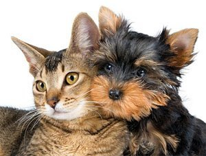 Анафилактический шок у кошек и собак
