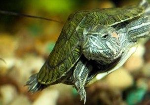 рецепт желе для красноухой черепахи