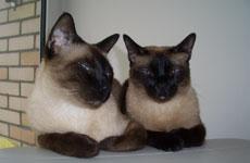 Как подружить двух неуживчивых кошек?