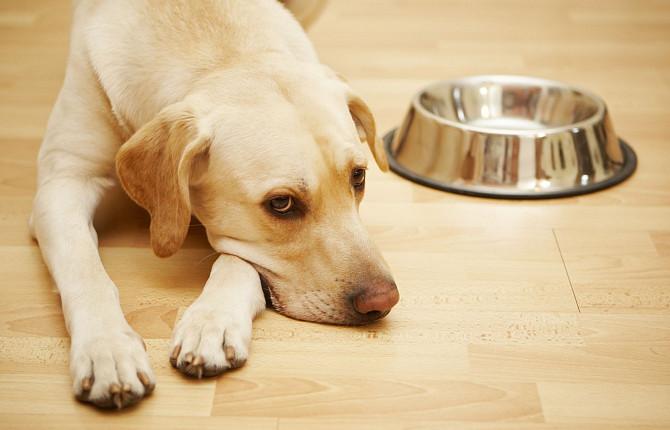гастроэнтерит у собаки симптомы лечение