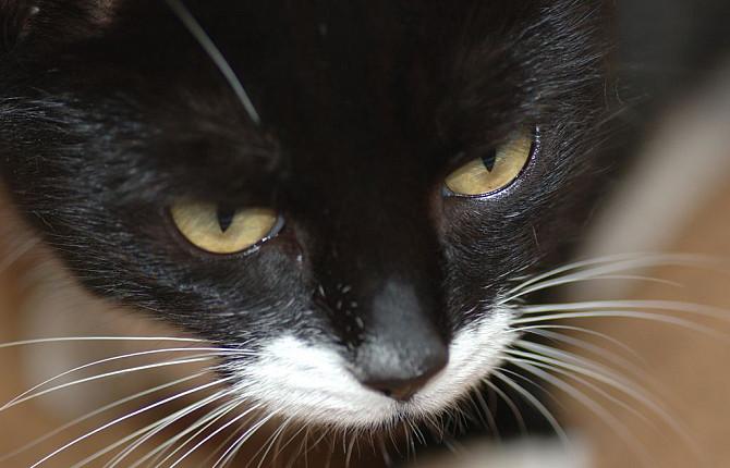 как кошки заражаются токсоплазмозом