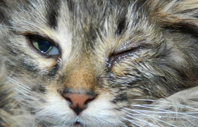 """Хламидиоз у кошек - симптомы, диагностика, лечение, профилактика - ВЦ """"Зоовет"""""""