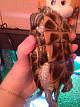 У сухопутной черепахи опухли ноги