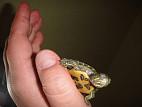 Белая пленка на глазах у черепахи лечение
