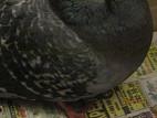 Как вылечить голубя у которого сломано крыло